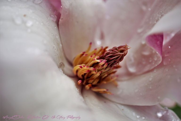 Full Macro Magnolia Bloom After A Spring Rain - MaryKDalke Reflections Of His Glory PhotographyDSC02554 (2)