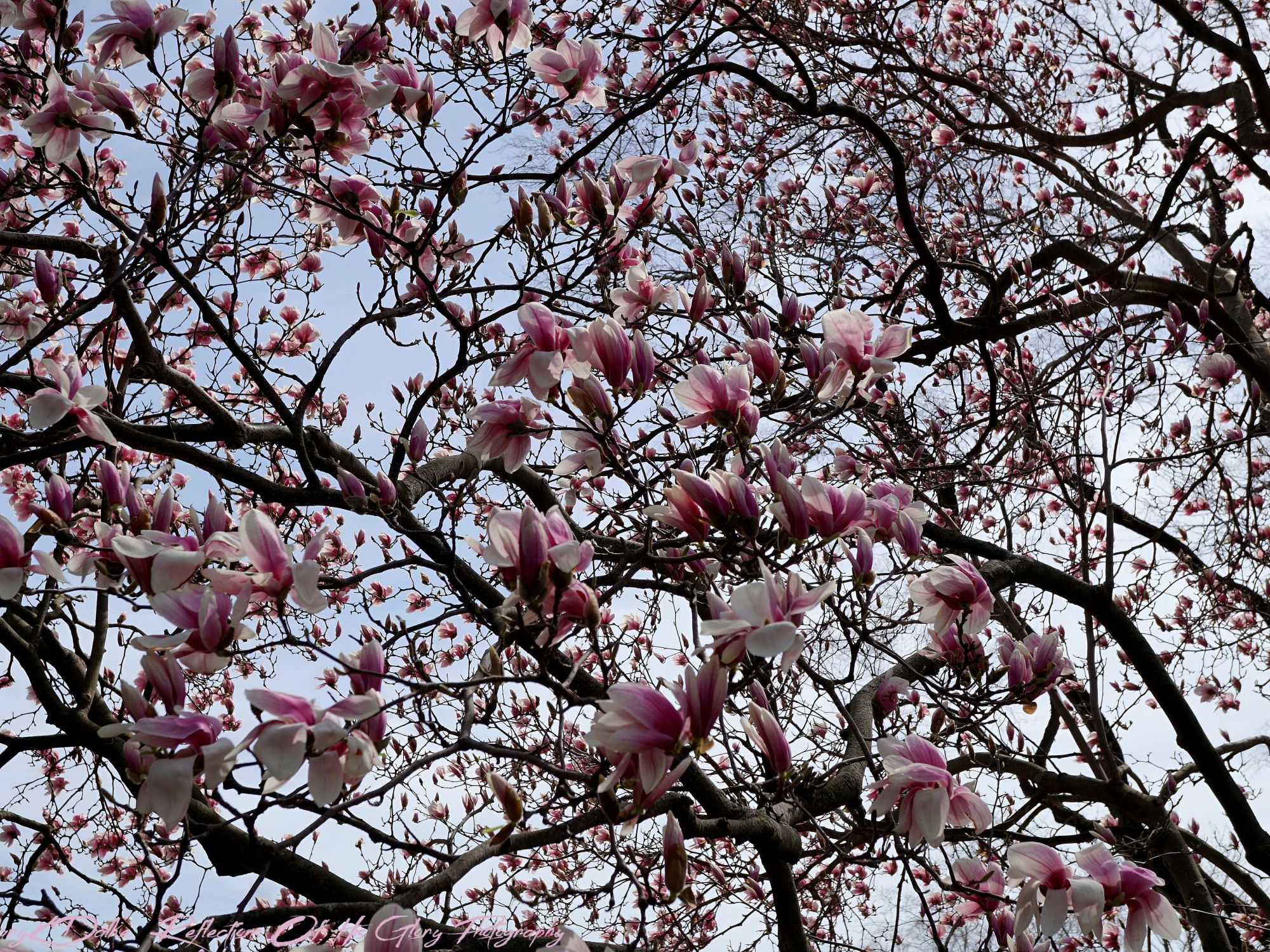 Beautiful Magnolia Tree In Full Bloom After A Spring Rain